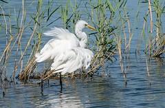 Great White Egret (Egrets 1 of 6)
