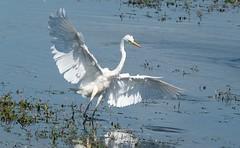 Great White Egret Take-off (Egrets 3 of 6)