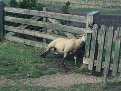 Wenn das Fell juckt, so sucht Schaf sich halt ein Gatter zum Schuppern ;-)   12. September 2019   Fehmarn - Schleswig-Holstein - Deutschland