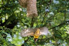 Baya Weaver exiting it's nest-2