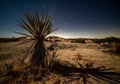 Yucca & Moonshadow at Joshua Tree National Park