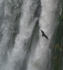 Vulture by Iguacu Waterfall I