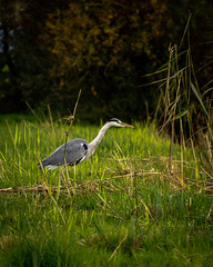 Hunting Heron in Horgen