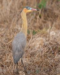 Whistling Heron Brazil
