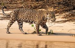 Jaguar.  Pantanal