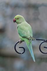 "Ring-necked parakeet ""Psittacula krameri"""
