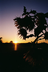 Schattenriss Sonnenblumen