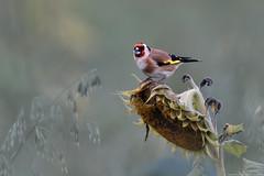 Chardonneret élégant (Carduelis carduelis) - European Goldfinch