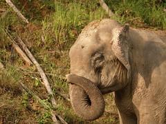 Wilder Elefant im Khao Sok Nationalpark / wild elephant