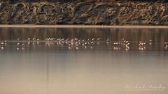 Flamingos on Salt Lake Larnaca
