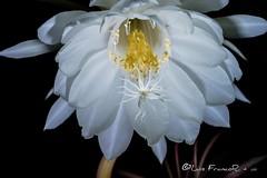 La flor del baile