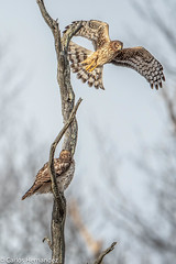 Cooper taunting Red tailed