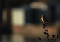 Stonechat at Widewater.....