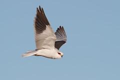 Black-winged Kite | svartvingad glada | Elanus caeruleus