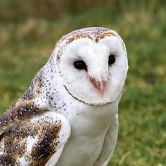 Australian Eastern Barn Owl