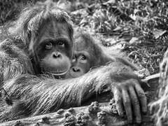 Orang oetan/ orangutan; monkey with child