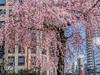 Photo:2019-04-02_岐阜城-新境川堤_003 By