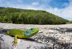 Western green lizard - Ramarro occidentale (Lacerta bilineata) male