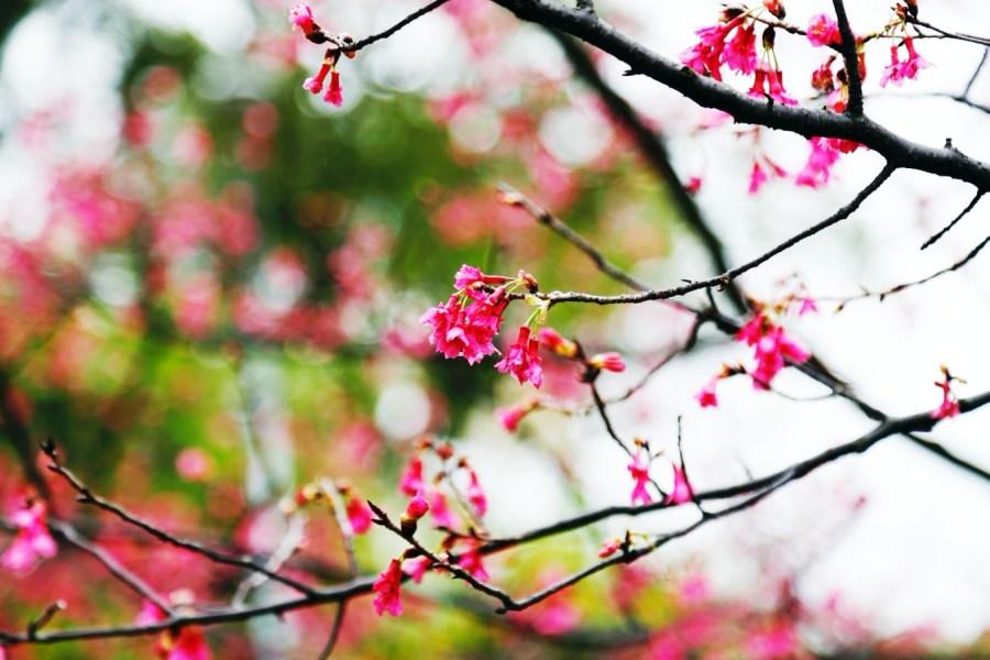 [龜山旅遊]壽山巖觀音寺.壽山櫻花園|桃園市區附近最大片櫻花園~免費景點.預計二月底盛開 @VIVIYU小世界
