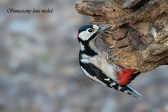 ♂ Great spotted woodpecker / ♂ Pic épeiche