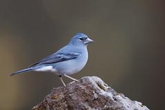 Tenerife Blue Chaffinch | teneriffablåfink | Fringilla teydea