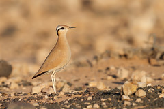 Cream-colored Courser | ökenlöpare | Cursorius cursor