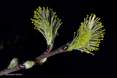 Salix Caprea Pendula