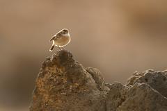 Canary Islands Stonechat | kanariebuskskvätta | Saxicola dacotiae