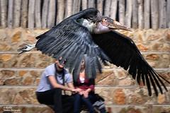 Marabou flight