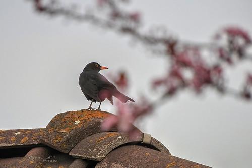 Tavasz Virágok Spring Flowers  madár Bird