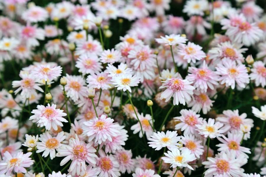 [台中旅遊]中社觀光花市花海 歐式花園造景~一年四季會有不同的花朵盛開.很適合拍照的景點 @VIVIYU小世界
