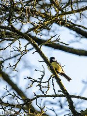 "A blue tit, or how we call it ""pimpelmees""."