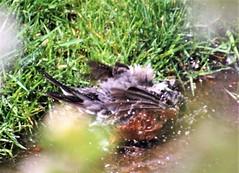 Morning Bath Time - American Robin