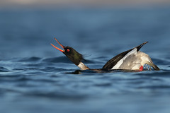 Red-breasted Merganser | småskrake | Mergus serrator