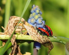 Lillioceris Lillii - Red Lily beetles
