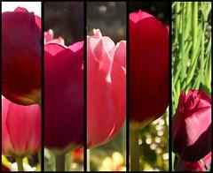 Tulipe!