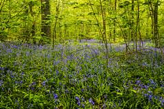 Forêt de Soignes /  Jacinthes Sauvages