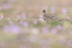 Eurasian Skylark | sånglärka | Alauda arvensis