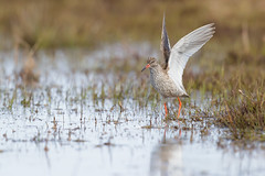 Common Redshank | rödbena | Tringa totanus
