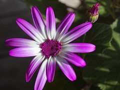 Aschenblume (sencio senetti)