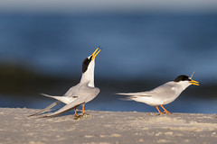Little Tern | småtärna | Sternula albifrons