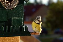 Meise am Vogelhaus 2020