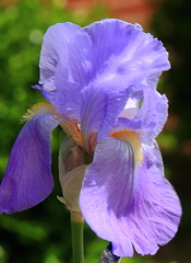 Iris, University of Arkansas Campus -  Fayetteville, Arkansas