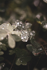 Drops on clover
