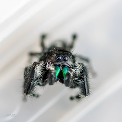Bold Jumper Spider (Phidippus audax)