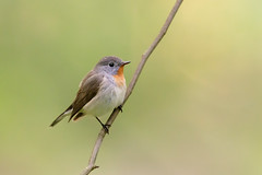 Red-breasted Flycatcher | mindre flugsnappare | Ficedula parva