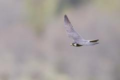 Eurasian Hobby | lärkfalk | Falco subbuteo
