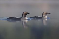 Black-throated Loon | storlom | Gavia arctica