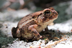 Ramapo Reservation | Eastern American Toad 01