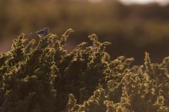 Bluethroat | blåhake | Luscinia svecica
